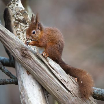 The native red squirrel is threatened by the invasive grey squirrel from North America.