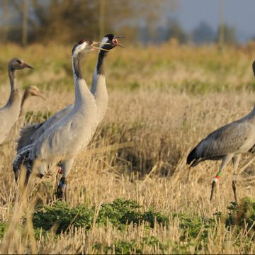 8 month old Common / Eurasian cranes Grus grus,